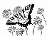 Butterfly Coloring Swallowtail Pages Adult Printable Printables Flowers Adults Pdf Animals Samanthasbell Reference sketch template
