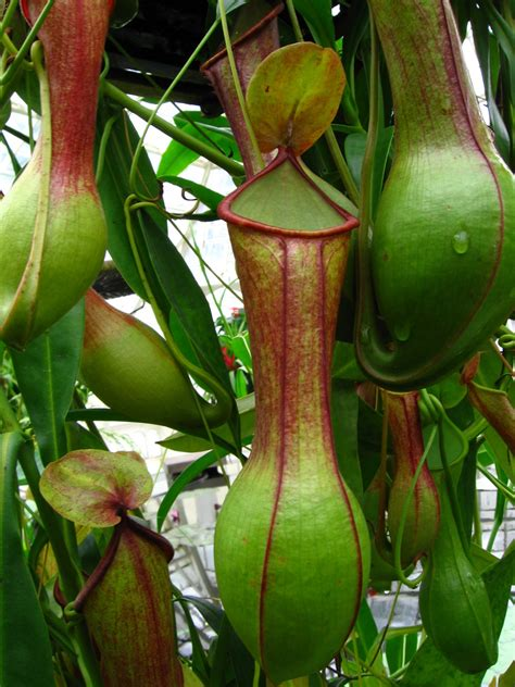 pitcher plant vriksha nursery carnivorous plants in mumbai