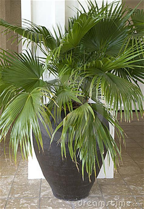 potted palm tree stock images image