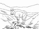 Mountain Goat Coloring Pages Outline Animal Amazing sketch template