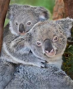 102 best images about Koala on Pinterest   Quokka ...