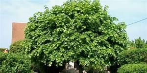Arbre à Croissance Rapide Pour Ombre : l arbre d ornement croissance rapide ~ Premium-room.com Idées de Décoration