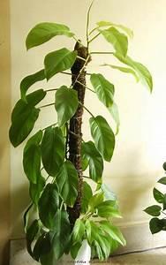 Plante Intérieur Grimpante : plante verte interieur grimpante photos de magnolisafleur ~ Louise-bijoux.com Idées de Décoration