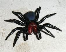 File:Male Mouse Spider.jpg - Wikimedia Commons