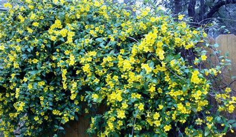 yellow flowering bushes early spring in austin texas shrubs yellow and flower
