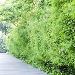 Sichtschutz Bambus Pflanze : bambushecke pflanzen das sollten sie dabei beachten ~ Sanjose-hotels-ca.com Haus und Dekorationen