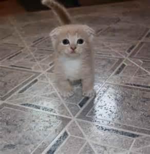 munchkin cat scottish fold scottish fold munchkin kitten