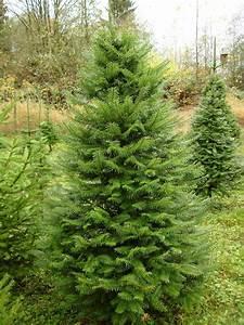 grand fir live trees grand fir real