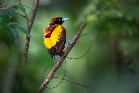 into the depths birds of paradise photography papua new guinea wildlife