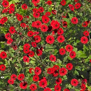 Rote Stauden Winterhart : rotes bodendecker fingerkraut von g rtner p tschke ~ Michelbontemps.com Haus und Dekorationen