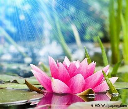 Lotus Flower Wallpapers Flowers Android Water Background