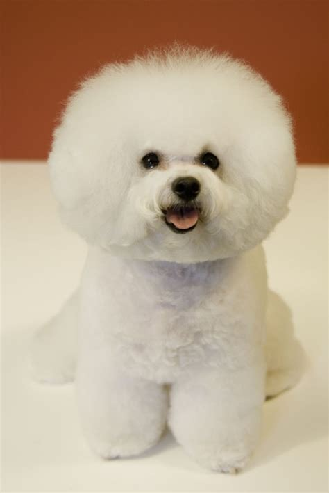 File Ee  Bichon Frise Ee   Red Background Jpg Wikimedia Commons