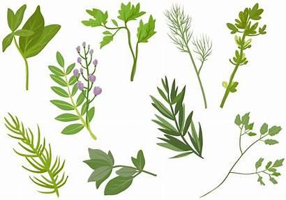 Herbs Vectors Vector Spices Clipart Graphics Herb