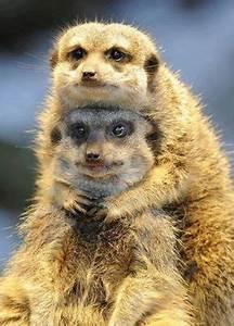 The Wild Hug : meerkat hug this must be rocket dog and maybelline meerkats gone wild pinterest mature ~ Eleganceandgraceweddings.com Haus und Dekorationen