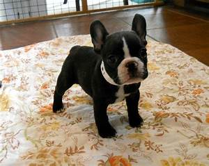 Black And White French Bulldog Puppies | french bull dogs ...