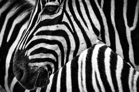 Black And White, Texture, Fauna, Zebra