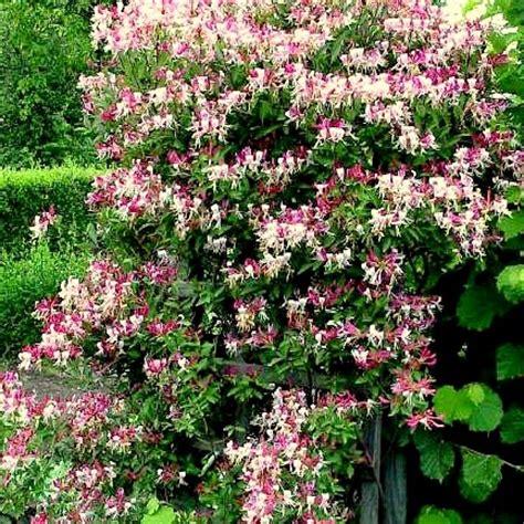 Blühende Kletterpflanzen Winterhart Mehrjährig. Jasmin
