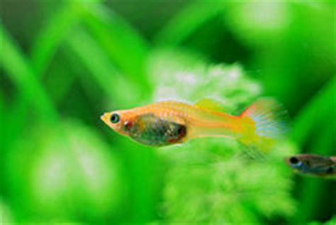 baby guppies died easily ways   care  baby