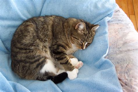 nap time tabby cat  stock photo public domain pictures