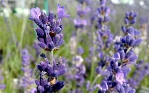 Lavendel Sorten übersicht : lavendel 39 imperial gem 39 pflanze lavandula angustifolia lavendel labkraut lungenkraut ~ Eleganceandgraceweddings.com Haus und Dekorationen