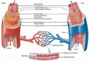 Blood Vessels Types - Layers Of Blood Vessels