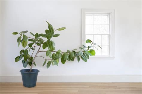 Grow Ls For Indoor Plants by How To Grow Healthy Ficus Trees At Home