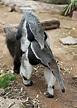 50 Years of Giant Anteaters! | Reid Park Zoo