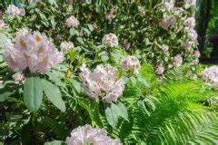 Erdbeeren Ableger Entfernen : rhododendron vermehren 7 vermehrungspraktiken auf einen blick ~ Frokenaadalensverden.com Haus und Dekorationen