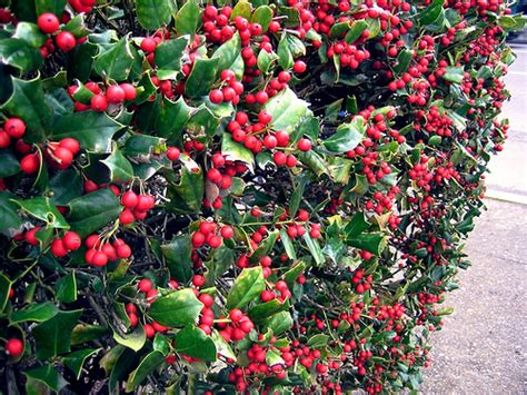 berried shrub holly berry bushes flickr photo sharing
