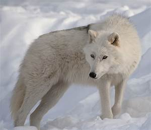 The Arctic Wolf | Interesting Facts & Photographs | The ...