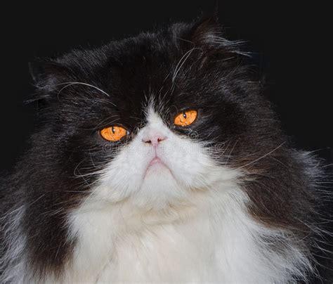 portrait de chat persan noir et blanc photo stock image du domestique detail 53134622