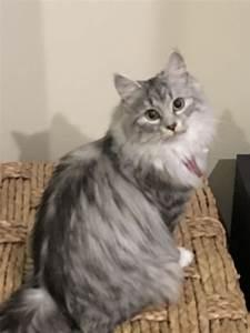 Siberian Cats - Queen Siberian Cat - Nstasia
