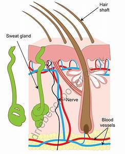 32 Sweat Gland Diagram