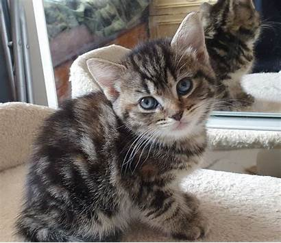 Kittens Adorable Pets4homes Evesham Cats Breed Mixed