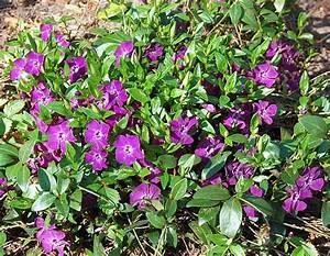 Vinca Minor Giftig : bodendecker pflanzen f r den faulen g rtner zauberstaude ~ Lizthompson.info Haus und Dekorationen