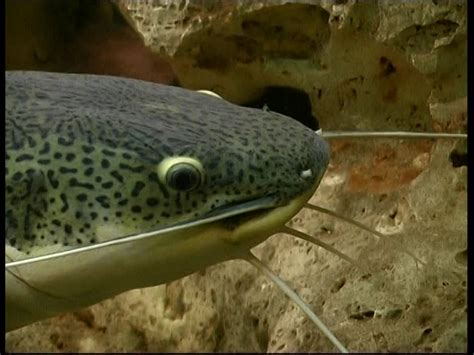 Wels Catfish / Aquarium Sd Stock Video Footage Collection