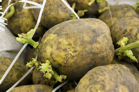 what are seed potatoes potato seed harvest to table