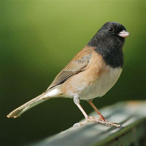 junco bird birds pinterest