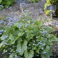 Buy Siberian bugloss Brunnera macrophylla Jack Frost (PBR ...