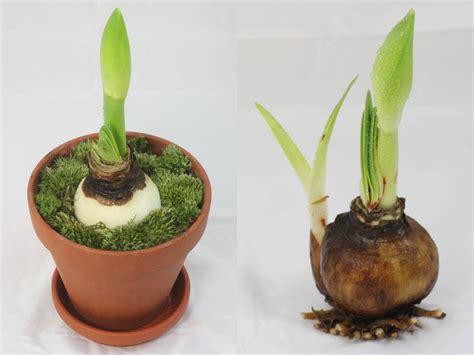 amaryllis hippeastrum care
