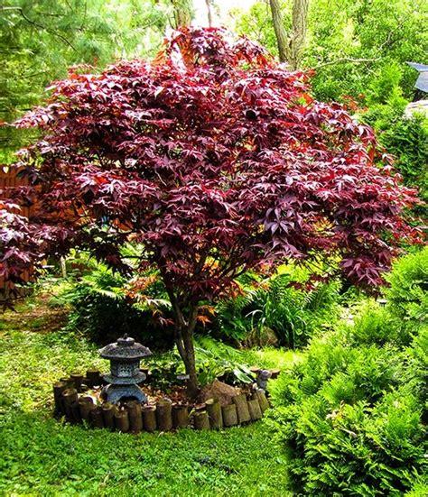 japanese maple shrub bloodgood japanese maple the tree center