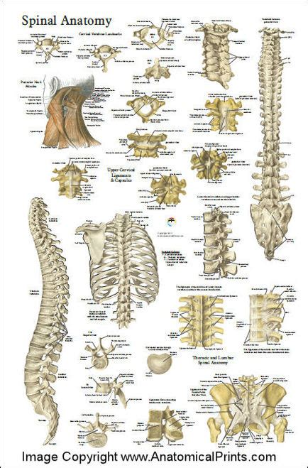 spinal anatomy chart clinical charts  supplies