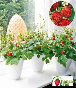 Erdbeeren Pflege Balkon : balkon fensterbank erdbeere fontaine baldur garten ~ Lizthompson.info Haus und Dekorationen