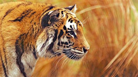 Animal 4k Wallpaper - wallpaper tiger hd 4k animals 5764