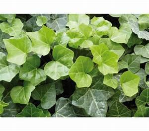Efeu Pflanzen Kaufen : irischer efeu gro bl ttriger efeu dehner garten center ~ Buech-reservation.com Haus und Dekorationen