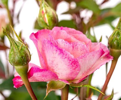 Kletterrose Mini Eden Rose Rosa Mini Eden Rose Günstig