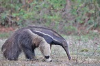Giant Anteater Photos, Giant Anteater Images, Nature ...