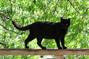 black cat pictures and black cats connection 183 guardian liberty voice