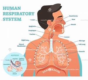 Human Respiratory System Anatomical Vector Illustration