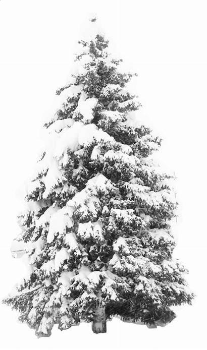 Tree Snow Transparent Pine Clipart Roblox Snowy